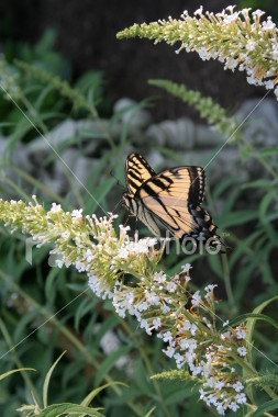 "<a href=""http://www.istockphoto.com/file_closeup/object/2196280.php?id=2196280&refnum=jwilkinson"" target=""istock"">butterfly - yellow swallowtail on butterfly-bush</a><br>a yellow swallowtail butterfly feeding on a butterfly bush(Buddleia)<br><br>See also: <br><a href=http://www.istockphoto.com/file_closeup.php?id=2196105><img border=0 src='http://www.istockphoto.com/file_thumbview_approve.php?size=1&id=2196105'></a>  <a href=http://www.istockphoto.com/file_closeup.php?id=2263763><img border=0 src='http://www.istockphoto.com/file_thumbview_approve.php?size=1&id=2263763'></a> <a href=http://www.istockphoto.com/file_closeup.php?id=2263790><img border=0 src='http://www.istockphoto.com/file_thumbview_approve.php?size=1&id=2263790'></a> <a href=http://www.istockphoto.com/file_closeup.php?id=2196017><img border=0 src='http://www.istockphoto.com/file_thumbview_approve.php?size=1&id=2196017'></a> <br>"