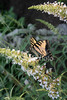"""<a href=""""http://www.istockphoto.com/file_closeup/object/2196280.php?id=2196280&refnum=jwilkinson"""" target=""""istock"""">butterfly - yellow swallowtail on butterfly-bush</a><br>a yellow swallowtail butterfly feeding on a butterfly bush(Buddleia)<br><br>See also: <br><a href=http://www.istockphoto.com/file_closeup.php?id=2196105><img border=0 src='http://www.istockphoto.com/file_thumbview_approve.php?size=1&id=2196105'></a>  <a href=http://www.istockphoto.com/file_closeup.php?id=2263763><img border=0 src='http://www.istockphoto.com/file_thumbview_approve.php?size=1&id=2263763'></a> <a href=http://www.istockphoto.com/file_closeup.php?id=2263790><img border=0 src='http://www.istockphoto.com/file_thumbview_approve.php?size=1&id=2263790'></a> <a href=http://www.istockphoto.com/file_closeup.php?id=2196017><img border=0 src='http://www.istockphoto.com/file_thumbview_approve.php?size=1&id=2196017'></a> <br>"""