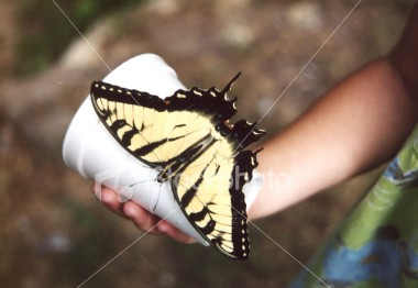 "<a href=""http://www.istockphoto.com/file_closeup/object/54480.php?id=54480&refnum=jwilkinson"" target=""istock"">butterfly on child's hand</a><br>yellow swallowtail butterfly on cup held by a child.  <br><br>See also: <br><a href=http://www.istockphoto.com/file_closeup.php?id=2196105><img border=0 src='http://www.istockphoto.com/file_thumbview_approve.php?size=1&id=2196105'></a> <a href=http://www.istockphoto.com/file_closeup.php?id=2196280><img border=0 src='http://www.istockphoto.com/file_thumbview_approve.php?size=1&id=2196280'></a>  <a href=http://www.istockphoto.com/file_closeup.php?id=2263790><img border=0 src='http://www.istockphoto.com/file_thumbview_approve.php?size=1&id=2263790'></a> <a href=http://www.istockphoto.com/file_closeup.php?id=2196017><img border=0 src='http://www.istockphoto.com/file_thumbview_approve.php?size=1&id=2196017'></a> <a href=http://www.istockphoto.com/file_closeup.php?id=2263763><img border=0 src='http://www.istockphoto.com/file_thumbview_approve.php?size=1&id=2263763'></a> <br>"