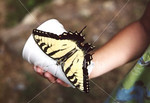 """<a href=""""http://www.istockphoto.com/file_closeup/object/54480.php?id=54480&refnum=jwilkinson"""" target=""""istock"""">butterfly on child's hand</a><br>yellow swallowtail butterfly on cup held by a child.  <br><br>See also: <br><a href=http://www.istockphoto.com/file_closeup.php?id=2196105><img border=0 src='http://www.istockphoto.com/file_thumbview_approve.php?size=1&id=2196105'></a> <a href=http://www.istockphoto.com/file_closeup.php?id=2196280><img border=0 src='http://www.istockphoto.com/file_thumbview_approve.php?size=1&id=2196280'></a>  <a href=http://www.istockphoto.com/file_closeup.php?id=2263790><img border=0 src='http://www.istockphoto.com/file_thumbview_approve.php?size=1&id=2263790'></a> <a href=http://www.istockphoto.com/file_closeup.php?id=2196017><img border=0 src='http://www.istockphoto.com/file_thumbview_approve.php?size=1&id=2196017'></a> <a href=http://www.istockphoto.com/file_closeup.php?id=2263763><img border=0 src='http://www.istockphoto.com/file_thumbview_approve.php?size=1&id=2263763'></a> <br>"""