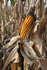 "<a href=""http://www.istockphoto.com/file_closeup/object/2387107.php?id=2387107&refnum=jwilkinson"" target=""istock"">Ear of late corn in the field</a><br>an ear of late corn on the corn stalk in the field, surrounded by mostly dried-out cornstalks.<br><br>fall, autumn, halloween and harvest themes"