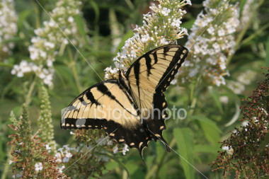 """<a href=""""http://www.istockphoto.com/file_closeup/object/2196017.php?id=2196017&refnum=jwilkinson"""" target=""""istock"""">butterfly - yellow swallowtail on butterfly-bush</a><br>a yellow swallowtail butterfly feeding on a butterfly bush(Buddleia)<br><br>See also: <br><a href=http://www.istockphoto.com/file_closeup.php?id=2196105><img border=0 src='http://www.istockphoto.com/file_thumbview_approve.php?size=1&id=2196105'></a> <a href=http://www.istockphoto.com/file_closeup.php?id=2196280><img border=0 src='http://www.istockphoto.com/file_thumbview_approve.php?size=1&id=2196280'></a> <a href=http://www.istockphoto.com/file_closeup.php?id=2263763><img border=0 src='http://www.istockphoto.com/file_thumbview_approve.php?size=1&id=2263763'></a> <a href=http://www.istockphoto.com/file_closeup.php?id=2263790><img border=0 src='http://www.istockphoto.com/file_thumbview_approve.php?size=1&id=2263790'></a> <br>"""