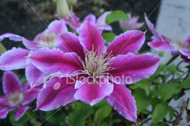 "<a href=""http://www.istockphoto.com/file_closeup/object/3481916.php?id=3481916&refnum=jwilkinson"" target=""istock"">Purple Clematis blossums</a><br>purple clematis blossoms against dark mulch. sharp focus on center cluster. <br><br>See also:<br><a href=http://www.istockphoto.com/file_closeup.php?id=3481862><img border=0 src='http://www.istockphoto.com/file_thumbview_approve.php?size=1&id=3481862'></a><br>"