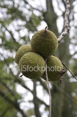 "<a href=""http://www.istockphoto.com/file_closeup/object/2343712.php?id=2343712&refnum=jwilkinson"" target=""istock"">Walnuts on the tree</a><br>a cluster of walnuts hanging on their branch, ready to be picked<br><br>may be useful for autumn and harvest themes"