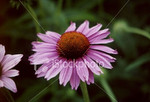 "<a href=""http://www.istockphoto.com/file_closeup/object/54497.php?id=54497&refnum=jwilkinson"" target=""istock"">Flower, purple, Echinacea</a><br>a beautiful coneflower in a friend's garden, variety Echinacea.  <br><br>Please drop me a note if/where you use this photo.  (no restrictions, I'm just curious about how people are using it)"