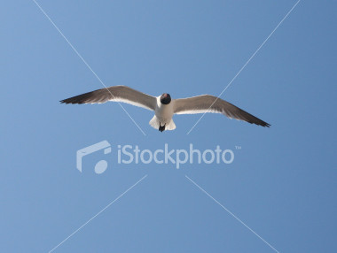 """<a href=""""http://www.istockphoto.com/file_closeup/object/2196185.php?id=2196185&refnum=jwilkinson"""" target=""""istock"""">soaring sea gull</a><br>a beautiful white sea gull with black head and wing tips soars through the sky on a sunny day at the beach<br><br>See also: <br><a href=http://www.istockphoto.com/file_closeup.php?id=2196216><img border=0 src='http://www.istockphoto.com/file_thumbview_approve.php?size=1&id=2196216'></a><br>"""