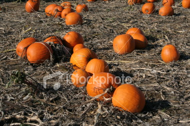 """<a href=""""http://www.istockphoto.com/file_closeup/object/2340535.php?id=2340535&refnum=jwilkinson"""" target=""""istock"""">pumpkin field</a><br>ripe orange pumpkins in a field, ready for picking<br><br>See also: <br><a href=http://www.istockphoto.com/file_closeup.php?id=2387161><img border=0 src='http://www.istockphoto.com/file_thumbview_approve.php?size=1&id=2387161'></a> <br>"""