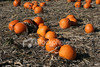 "<a href=""http://www.istockphoto.com/file_closeup/object/2340535.php?id=2340535&refnum=jwilkinson"" target=""istock"">pumpkin field</a><br>ripe orange pumpkins in a field, ready for picking<br><br>See also: <br><a href=http://www.istockphoto.com/file_closeup.php?id=2387161><img border=0 src='http://www.istockphoto.com/file_thumbview_approve.php?size=1&id=2387161'></a> <br>"