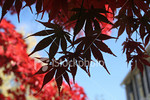 """<a href=""""http://www.istockphoto.com/file_closeup/object/2629290.php?id=2629290&refnum=jwilkinson"""" target=""""istock"""">Autumn Maple Leaves, Silhouette</a><br>beautiful silhouetted red maple tree leaves against a blue sky and<br>background maple and corner of a house"""