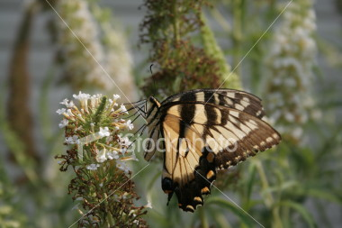 """<a href=""""http://www.istockphoto.com/file_closeup/object/2263790.php?id=2263790&refnum=jwilkinson"""" target=""""istock"""">butterfly - yellow swallowtail on butterfly-bush</a><br>a yellow swallowtail butterfly feeding on a butterfly bush (Buddleia)<br><br>See also: <br><a href=http://www.istockphoto.com/file_closeup.php?id=2196017><img border=0 src='http://www.istockphoto.com/file_thumbview_approve.php?size=1&id=2196017'></a> <a href=http://www.istockphoto.com/file_closeup.php?id=2196105><img border=0 src='http://www.istockphoto.com/file_thumbview_approve.php?size=1&id=2196105'></a> <a href=http://www.istockphoto.com/file_closeup.php?id=2196280><img border=0 src='http://www.istockphoto.com/file_thumbview_approve.php?size=1&id=2196280'></a> <a href=http://www.istockphoto.com/file_closeup.php?id=2263763><img border=0 src='http://www.istockphoto.com/file_thumbview_approve.php?size=1&id=2263763'></a>  <br>"""