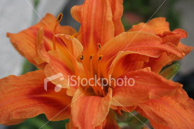 "<a href=""http://www.istockphoto.com/file_closeup/object/1930481.php?id=1930481&refnum=jwilkinson"" target=""istock"">Day-Lily, Orange Double</a><br>A beautiful orange double or triple day lily.<br><br>Variety is Hemerocallis fulva 'Kwanso' or Hemerocallis 'Kwanso'.<br>Hemerocallis fulva seems to be the general name for orange day lilies and 'Kwanso' is the double and/or triple variety.<br><br>See also: <br><a href=http://www.istockphoto.com/file_closeup.php?id=1844646><img border=0 src='http://www.istockphoto.com/file_thumbview_approve.php?size=1&id=1844646'></a> <a href=http://www.istockphoto.com/file_closeup.php?id=1844593><img border=0 src='http://www.istockphoto.com/file_thumbview_approve.php?size=1&id=1844593'></a> <a href=http://www.istockphoto.com/file_closeup.php?id=31814><img border=0 src='http://www.istockphoto.com/file_thumbview_approve.php?size=1&id=31814'></a><br>"