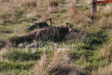 "<a href=""http://www.istockphoto.com/file_closeup/object/2340840.php?id=2340840&refnum=jwilkinson"" target=""istock"">Deer fawn hiding in field</a><br>a white-tailed deer fawn resting and hiding in a grassy field<br><br>See also: <br><a href=http://www.istockphoto.com/file_closeup.php?id=2340809><img border=0 src='http://www.istockphoto.com/file_thumbview_approve.php?size=1&id=2340809'></a>  <a href=http://www.istockphoto.com/file_closeup.php?id=2343696><img border=0 src='http://www.istockphoto.com/file_thumbview_approve.php?size=1&id=2343696'></a> <br>"