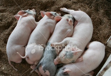"<a href=""http://www.istockphoto.com/file_closeup/object/4550590.php?id=4550590&refnum=jwilkinson"" target=""istock"">Pile of Played-Out Piggies</a><br>peaceful young piglets sleep together in a heap after a long day at the state fair. evening, natural lighting.<br><br>Note: uncropped original available upon request.<br><br>See also:<br><a href=http://www.istockphoto.com/file_closeup.php?id=4550562><img border=0 src='http://www.istockphoto.com/file_thumbview_approve.php?size=1&id=4550562'></a> <a href=http://www.istockphoto.com/file_closeup.php?id=4550596><img border=0 src='http://www.istockphoto.com/file_thumbview_approve.php?size=1&id=4550596'></a><br>"