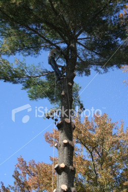 "<a href=""http://www.istockphoto.com/file_closeup/object/2340708.php?id=2340708&refnum=jwilkinson"" target=""istock"">Tree trimmer working up high in forest</a><br>a tree trimmer/removal person high up in a pine tree, removing the last branches from a tree being removed.  Sawdust blows around as he saws.<br><br>Includes his rigging and safety lines, chain saw hanging from his belt<br><br>Note: The light dots are not noise, but the cloud of sawdust from this action shot as he saws a branch.<br><br>See also: <br><a href=http://www.istockphoto.com/file_closeup.php?id=2340771><img border=0 src='http://www.istockphoto.com/file_thumbview_approve.php?size=1&id=2340771'></a>  <a href=http://www.istockphoto.com/file_closeup.php?id=2387019><img border=0 src='http://www.istockphoto.com/file_thumbview_approve.php?size=1&id=2387019'></a> <a href=http://www.istockphoto.com/file_closeup.php?id=2387093><img border=0 src='http://www.istockphoto.com/file_thumbview_approve.php?size=1&id=2387093'></a> <br><a href=http://www.istockphoto.com/file_closeup.php?id=2629393><img border=0 src='http://www.istockphoto.com/file_thumbview_approve.php?size=1&id=2629393'></a>  <a href=http://www.istockphoto.com/file_closeup.php?id=2648318><img border=0 src='http://www.istockphoto.com/file_thumbview_approve.php?size=1&id=2648318'></a> <br>"
