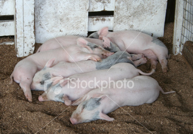 """<a href=""""http://www.istockphoto.com/file_closeup/object/4550596.php?id=4550596&refnum=jwilkinson"""" target=""""istock"""">Pile of Played-Out Piggies</a><br>peaceful young piglets sleep together in a heap after a long day at the state fair. evening, natural lighting.<br><br>Note: uncropped original available upon request.<br><br>See also:<br><a href=http://www.istockphoto.com/file_closeup.php?id=4550562><img border=0 src='http://www.istockphoto.com/file_thumbview_approve.php?size=1&id=4550562'></a>  <a href=http://www.istockphoto.com/file_closeup.php?id=4550590><img border=0 src='http://www.istockphoto.com/file_thumbview_approve.php?size=1&id=4550590'></a> <br>"""