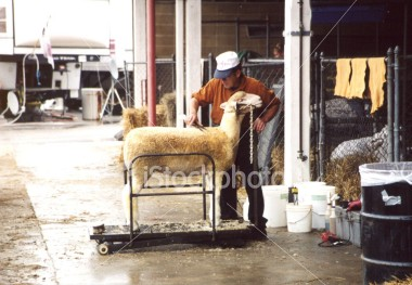 "<a href=""http://www.istockphoto.com/file_closeup/object/54494.php?id=54494&refnum=jwilkinson"" target=""istock"">sheep shearing at fair, 2</a><br>statefair sheep shearing sheep being sheared in a darkened show barn in preparation for competition showing, taken at Md State Fair in Timonium Md, August 2002. <br><br>Please drop me a note if you use this photo."