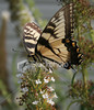 """<a href=""""http://www.istockphoto.com/file_closeup/object/2196105.php?id=2196105&refnum=jwilkinson"""" target=""""istock"""">butterfly - yellow swallowtail on butterfly-bush</a><br>a yellow swallowtail butterfly feeding on a butterfly bush(Buddleia), right up on top of a vertical blossum.<br><br>This is a cropped photo.  If you would like a version with more of the surrounding, contact me.<br><br>See also: <br><a href=http://www.istockphoto.com/file_closeup.php?id=2196017><img border=0 src='http://www.istockphoto.com/file_thumbview_approve.php?size=1&id=2196017'></a>  <a href=http://www.istockphoto.com/file_closeup.php?id=2196280><img border=0 src='http://www.istockphoto.com/file_thumbview_approve.php?size=1&id=2196280'></a> <a href=http://www.istockphoto.com/file_closeup.php?id=2263763><img border=0 src='http://www.istockphoto.com/file_thumbview_approve.php?size=1&id=2263763'></a> <a href=http://www.istockphoto.com/file_closeup.php?id=2263790><img border=0 src='http://www.istockphoto.com/file_thumbview_approve.php?size=1&id=2263790'></a> <br>"""