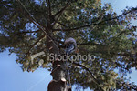 """<a href=""""http://www.istockphoto.com/file_closeup/object/2387093.php?id=2387093&refnum=jwilkinson"""" target=""""istock"""">Tree trimmer working up high</a><br>a tree trimmer/removal person high up in a pine tree, removing the last branches from a tree being removed.<br><br>includes his rigging and safety lines, chain saw hanging from his belt<br><br>See also: <br><a href=http://www.istockphoto.com/file_closeup.php?id=2340771><img border=0 src='http://www.istockphoto.com/file_thumbview_approve.php?size=1&id=2340771'></a> <a href=http://www.istockphoto.com/file_closeup.php?id=2340708><img border=0 src='http://www.istockphoto.com/file_thumbview_approve.php?size=1&id=2340708'></a> <a href=http://www.istockphoto.com/file_closeup.php?id=2387019><img border=0 src='http://www.istockphoto.com/file_thumbview_approve.php?size=1&id=2387019'></a>  <br>"""