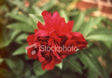 "<a href=""http://www.istockphoto.com/file_closeup/object/40887.php?id=40887&refnum=jwilkinson"" target=""istock"">flower, red peony 2</a><br>fully open blossum of a deep red peony flower."
