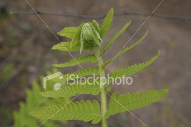 "<a href=""http://www.istockphoto.com/file_closeup/object/1310332.php?id=1310332&refnum=jwilkinson"" target=""istock"">fern opening up 5</a><br>closeup of a wild fern frond opening up, unfurling.<br>see the rest of this series for different stages of the growth.<br><br>See also: <br><a href=http://www.istockphoto.com/file_closeup.php?id=1310349><img border=0 src='http://www.istockphoto.com/file_thumbview_approve.php?size=1&id=1310349'></a> <a href=http://www.istockphoto.com/file_closeup.php?id=1152393><img border=0 src='http://www.istockphoto.com/file_thumbview_approve.php?size=1&id=1152393'></a> <a href=http://www.istockphoto.com/file_closeup.php?id=1310379><img border=0 src='http://www.istockphoto.com/file_thumbview_approve.php?size=1&id=1310379'></a> <a href=http://www.istockphoto.com/file_closeup.php?id=1310363><img border=0 src='http://www.istockphoto.com/file_thumbview_approve.php?size=1&id=1310363'></a> <a href=http://www.istockphoto.com/file_closeup.php?id=1310332><img border=0 src='http://www.istockphoto.com/file_thumbview_approve.php?size=1&id=1310332'></a><br><br>"