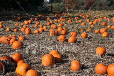 "<a href=""http://www.istockphoto.com/file_closeup/object/2387161.php?id=2387161&refnum=jwilkinson"" target=""istock"">pumpkin field</a><br>ripe orange pumpkins in a field, ready for picking<br><br>See also: <br><a href=http://www.istockphoto.com/file_closeup.php?id=2340535><img border=0 src='http://www.istockphoto.com/file_thumbview_approve.php?size=1&id=2340535'></a> <br>"