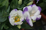 "<a href=""http://www.istockphoto.com/file_closeup/object/1974215.php?id=1974215&refnum=jwilkinson"" target=""istock"">Lisianthus blossums, purple and white</a><br>Close-ups of delicate purple and white Lisianthus blossums."