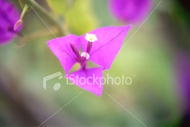 "<a href=""http://www.istockphoto.com/file_closeup/object/29741.php?id=29741&refnum=jwilkinson"" target=""istock"">flower, jamaican 2</a><br>unknown variety flower, taken in jamaica, single blossum. (see other similar photos in my submissions)<br><br>Please drop me a note if/where you use it.<br><br>See also: <br><a href=http://www.istockphoto.com/file_closeup.php?id=29740><img border=0 src='http://www.istockphoto.com/file_thumbview_approve.php?size=1&id=29740'></a> <a href=http://www.istockphoto.com/file_closeup.php?id=29742><img border=0 src='http://www.istockphoto.com/file_thumbview_approve.php?size=1&id=29742'></a> <a href=http://www.istockphoto.com/file_closeup.php?id=29743><img border=0 src='http://www.istockphoto.com/file_thumbview_approve.php?size=1&id=29743'></a><br>"