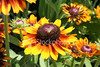 "<a href=""http://www.istockphoto.com/file_closeup/object/1844959.php?id=1844959&refnum=jwilkinson"" target=""istock"">Cone Flowers with Insect</a><br>closeup of beautiful yellow-orange cone flowers (echinacea), with an insect crawling on central blossum"