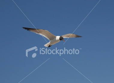 """<a href=""""http://www.istockphoto.com/file_closeup/object/2196216.php?id=2196216&refnum=jwilkinson"""" target=""""istock"""">soaring sea gull</a><br>a beautiful white sea gull with black head and wing tips soars through the sky on a sunny day at the beach<br><br>See also: <br><a href=http://www.istockphoto.com/file_closeup.php?id=2196185><img border=0 src='http://www.istockphoto.com/file_thumbview_approve.php?size=1&id=2196185'></a><br>"""