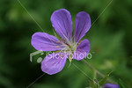 "<a href=""http://www.istockphoto.com/file_closeup/object/3482212.php?id=3482212&refnum=jwilkinson"" target=""istock"">Cranesbill Geranium</a><br>closeup of a purple Cranesbill Geranium, with focus is on center details of the blossom."