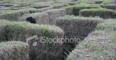 "<a href=""http://www.istockphoto.com/file_closeup/object/2629411.php?id=2629411&refnum=jwilkinson"" target=""istock"">Hay Maze</a><br>a fun Autumn event, a maze built from hay bales.  Here a child's head shows as she moves through the seemingly-endless maze<br><br>Shot in evening lighting, so it is purposely a little greyer, but still good contrast and sharpness with little noise.<br><br>See also: <br><a href=http://www.istockphoto.com/file_closeup.php?id=2407131><img border=0 src='http://www.istockphoto.com/file_thumbview_approve.php?size=1&id=2407131'></a> <a href=http://www.istockphoto.com/file_closeup.php?id=2629432><img border=0 src='http://www.istockphoto.com/file_thumbview_approve.php?size=1&id=2629432'></a> <br>"