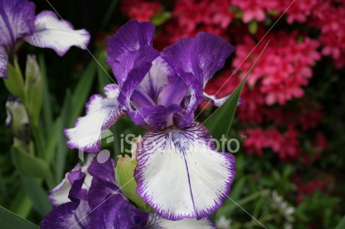 """<a href=""""http://www.istockphoto.com/file_closeup/object/3482039.php?id=3482039&refnum=jwilkinson"""" target=""""istock"""">Iris, Deep Purple & White</a><br>Deep purple and white iris blossom. Sharp focus, showing detail of the flower petals and beard. Deep rich colors.<br><br>See also:<br><a href=http://www.istockphoto.com/file_closeup.php?id=3482005><img border=0 src='http://www.istockphoto.com/file_thumbview_approve.php?size=1&id=3482005'></a><br>"""