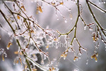 "<a href=""http://www.istockphoto.com/file_closeup/object/260693.php?id=260693&refnum=jwilkinson"" target=""istock"">ice-covered branches 1</a><br>sun shining through ice covered branches of a tree after a winter ice/rain storm, ice could be melting, dripping"