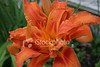 "<a href=""http://www.istockphoto.com/file_closeup/object/1844593.php?id=1844593&refnum=jwilkinson"" target=""istock"">Day-Lily, Orange Double</a><br>A beautiful orange double or triple day lily.<br><br>The variety is Hemerocallis fulva 'Kwanso' or Hemerocallis 'Kwanso'.<br>Hemerocallis fulva seems to be the general name for orange day lilies and 'Kwanso' is the double and/or triple variety.<br><br>See also: <br><a href=http://www.istockphoto.com/file_closeup.php?id=1930481><img border=0 src='http://www.istockphoto.com/file_thumbview_approve.php?size=1&id=1930481'></a> <a href=http://www.istockphoto.com/file_closeup.php?id=1844646><img border=0 src='http://www.istockphoto.com/file_thumbview_approve.php?size=1&id=1844646'></a>  <a href=http://www.istockphoto.com/file_closeup.php?id=31814><img border=0 src='http://www.istockphoto.com/file_thumbview_approve.php?size=1&id=31814'></a><br>"