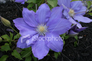 "<a href=""http://www.istockphoto.com/file_closeup/object/3481862.php?id=3481862&refnum=jwilkinson"" target=""istock"">Purple Clematis blossums</a><br>purple clematis blossoms against dark mulch.  sharp focus with very good detail on the petals and the center of the blossom.<br><br>See also:<br><a href=http://www.istockphoto.com/file_closeup.php?id=3481916 ><img border=0 src='http://www.istockphoto.com/file_thumbview_approve.php?size=1&id=3481916 '></a><br>"
