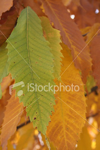 "<a href=""http://www.istockphoto.com/file_closeup/object/2648310.php?id=2648310&refnum=jwilkinson"" target=""istock"">Yellow Autumn Chestnut Leaves</a><br>beautiful green, yellow and browning leaves on an American Chestnut tree (hybrid) as they darken in Autumn"