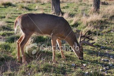 """<a href=""""http://www.istockphoto.com/file_closeup/object/2343696.php?id=2343696&refnum=jwilkinson"""" target=""""istock"""">White-Tailed Deer - Buck</a><br>a large male white-tailed deer (buck) grazing in a field, nice rack (antlers), probably at least 10 points, low evening sunlight coming from behind him.<br><br>See also: <br><a href=http://www.istockphoto.com/file_closeup.php?id=2340809><img border=0 src='http://www.istockphoto.com/file_thumbview_approve.php?size=1&id=2340809'></a> <a href=http://www.istockphoto.com/file_closeup.php?id=2340840><img border=0 src='http://www.istockphoto.com/file_thumbview_approve.php?size=1&id=2340840'></a>  <br>"""