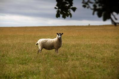 Ingon Farms sheep