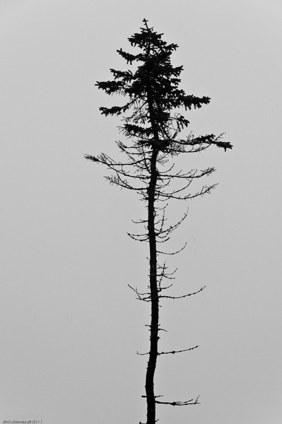 Long, Tall Pine, Southwest Harbor, Maine