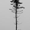 Long, Tall Pine, Southwest Harbor, Maine