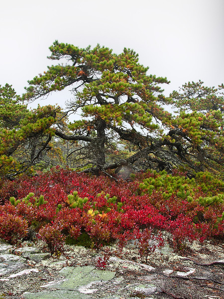 Lichen, Red Blueberry Bushes and Coastal Pine, Southwest Harbor, Maine