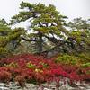 Lichen, Red Blueberry Bushes and Coastal Pine, Southwest Harbor, Maine
