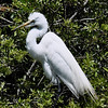 Awendaw Great Egret