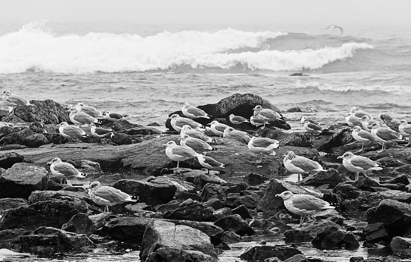 Seagulls Against the Wind, Southwest Harbor, Maine