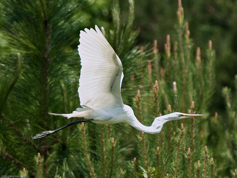 Awendaw Egret in Flight