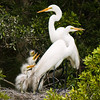 Great Egret Family DeW 15x20