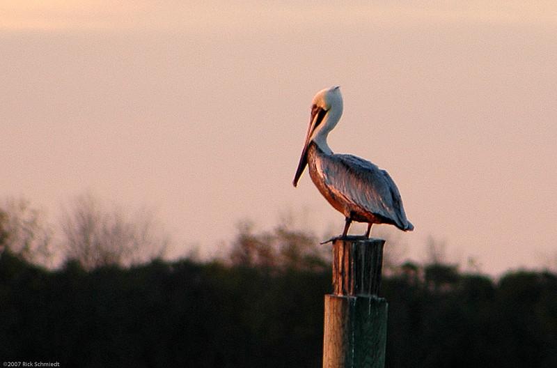 Hobcaw Inlet Pelican