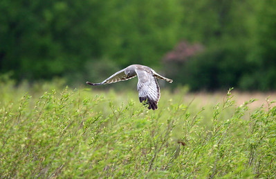 It's fun to watch the hunt!  http://www.allaboutbirds.org/guide/northern_harrier/id