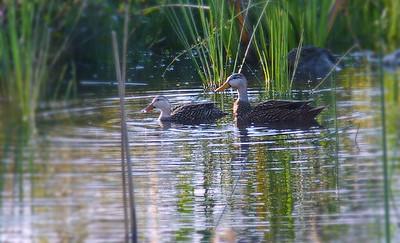 Mottled ducks. 3 Sisters Wetland Walk. 12/03/2016.