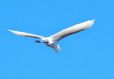 Great Egret soaring over 3 Sisters Wetland Walk. 12/2/2016.
